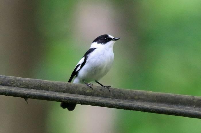 Collared Flycatcher (R. Davidson)