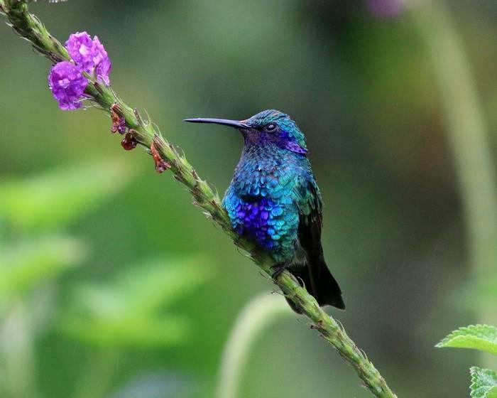 Sparkling Violetear (Robert Davidson).JPG