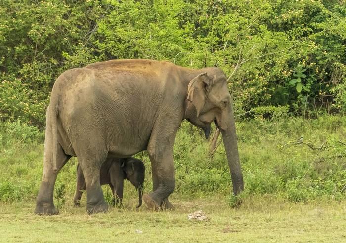 Asian Elephants(John Archer Thomson)