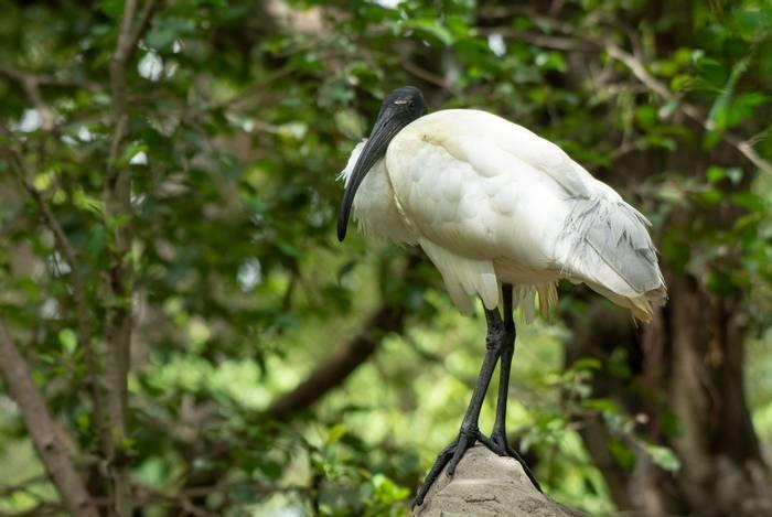 Black-headed Ibis, Cambodia shutterstock_1245180844.jpg