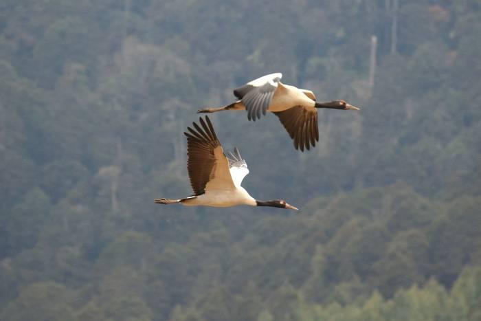 Black-necked Crane (Sujan Chatterjee)