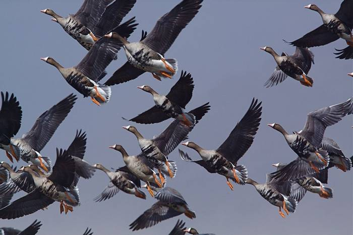 Greater White-fronted Geese shutterstock_114021949.jpg