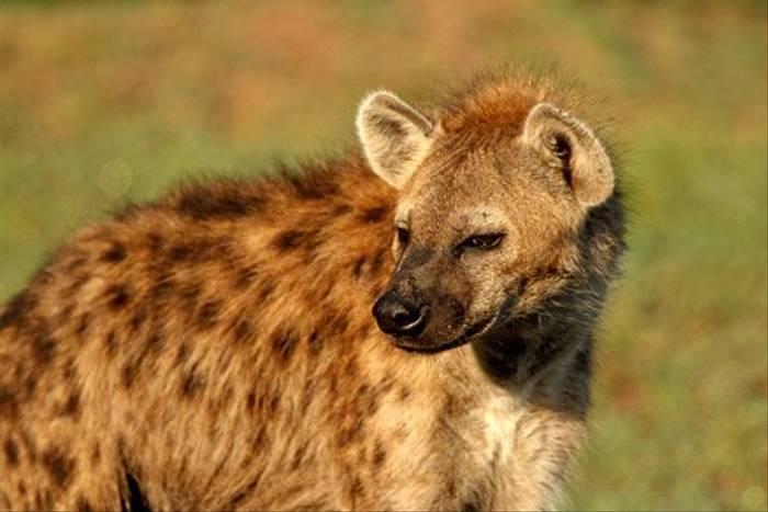 Spotted Hyena (Bret Charman)
