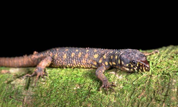 Yellow-spotted Night Lizard (Lepidophyma flavimaculatum)