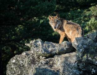 Wolf-watching in Spain