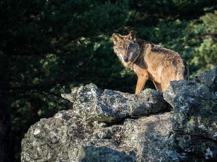 Iberian Wolf, Spain Shutterstock 557649358