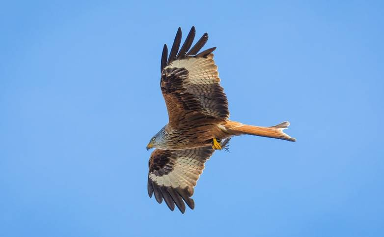 Wildlife - Red Kite - Pixabay2204781.jpg