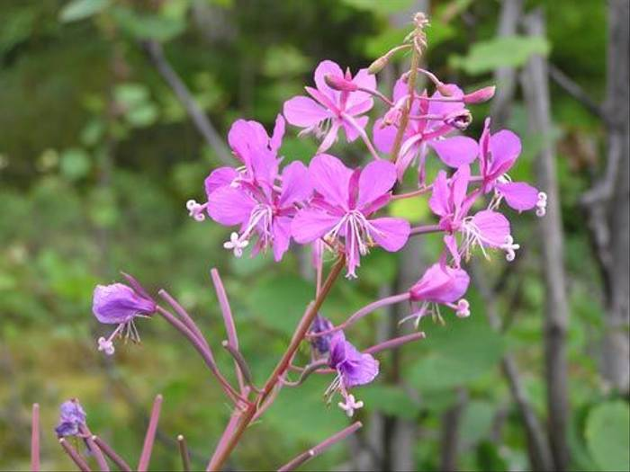 Rosebay Willowherb (Thomas Mills)