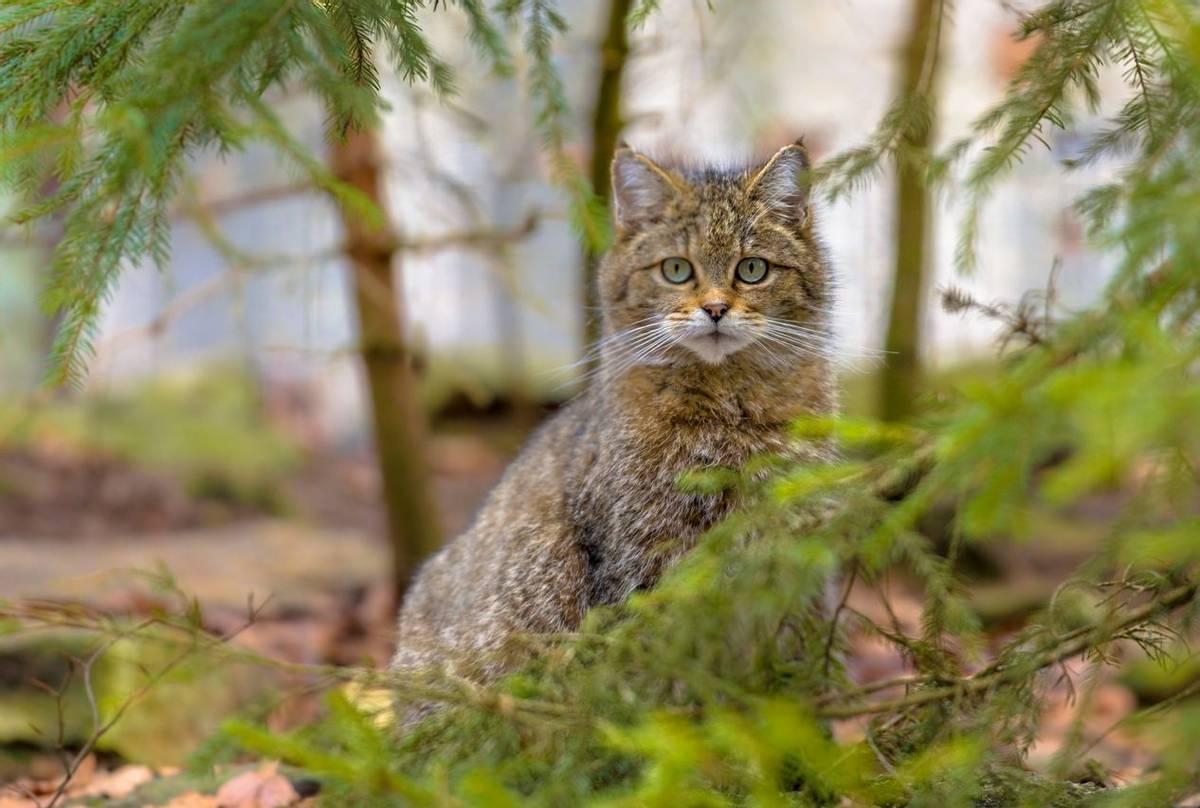 Wildcat, Spain Shutterstock 618070628