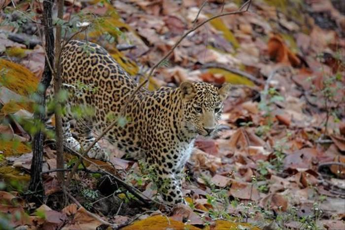 Leopard, Satpura