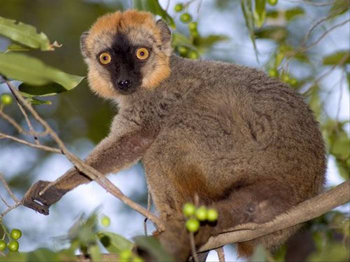 Red-fronted Brown Lemur (Paul Stanbury)