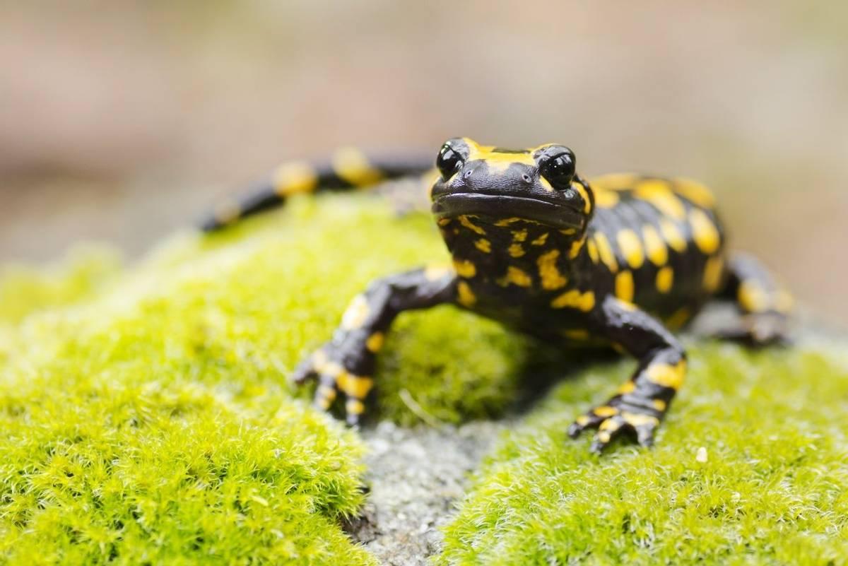 Fire Salamander (Corsica) shutterstock_486809287.jpg