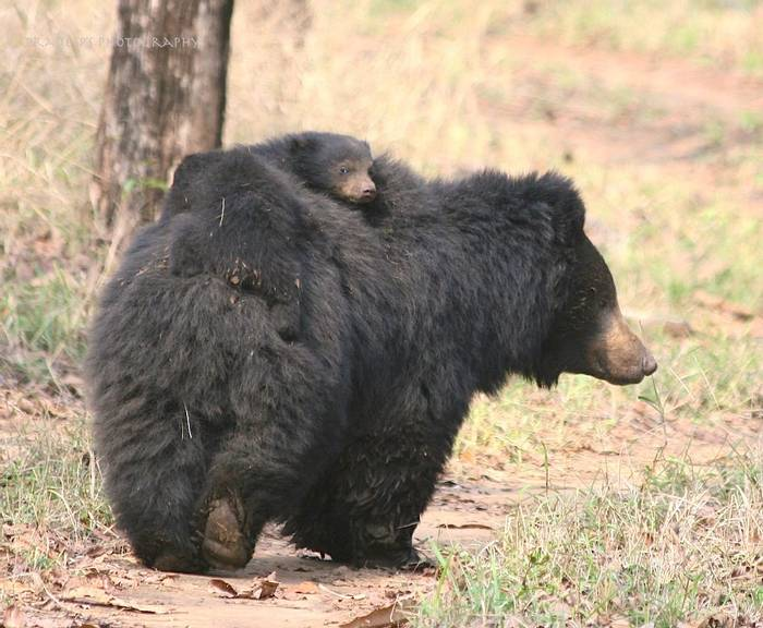 Sloth Bear with cubs (Pradeep Singh) (2)