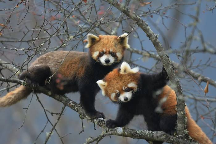 Red Pandas (Hugh Lansdown)