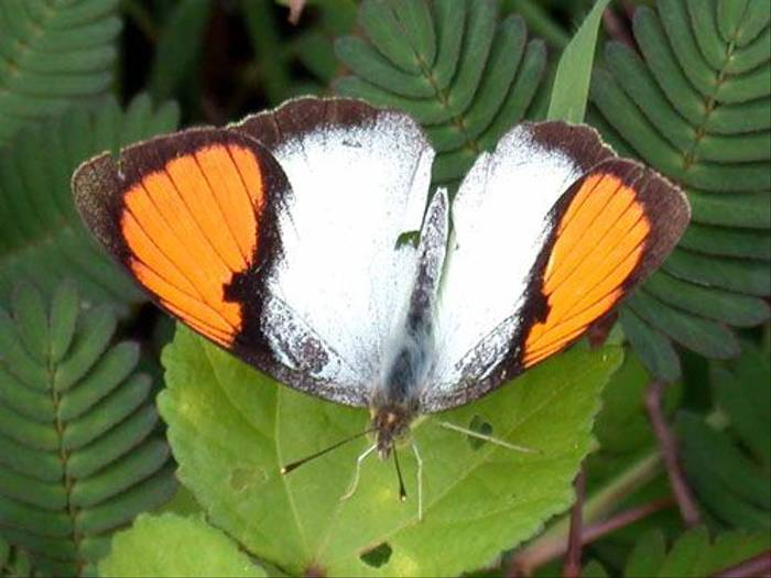 White Orange-tip (Brian Goodey)