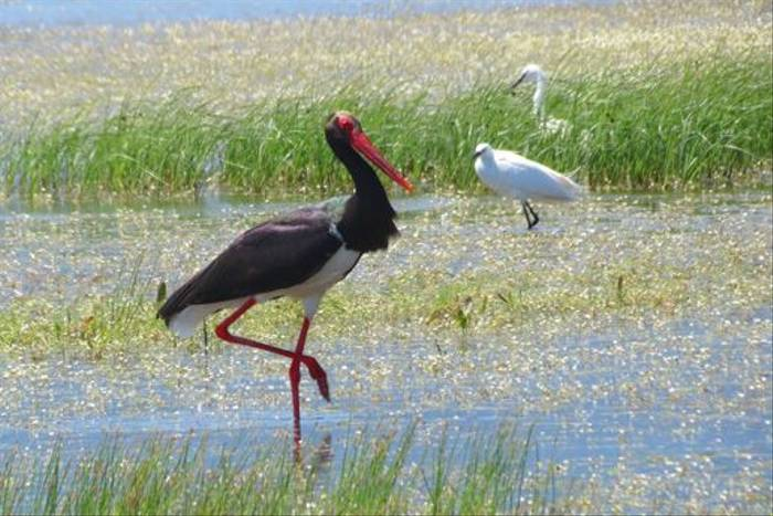 Black Stork and Little Egrets (Colin Wibberley)