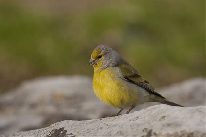 Citril Finch (Jose Ardaiz)