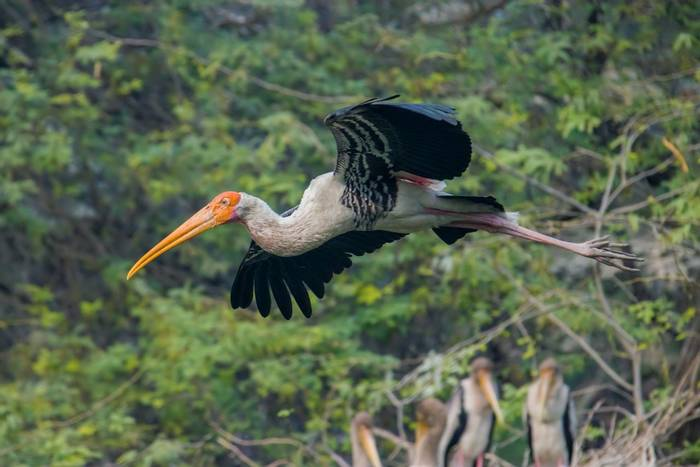 Painted Stork, Cambodia shutterstock_1400230721.jpg
