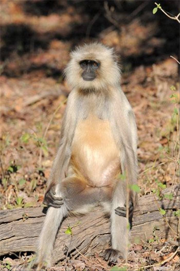 Grey Langur (Peter Johnson)
