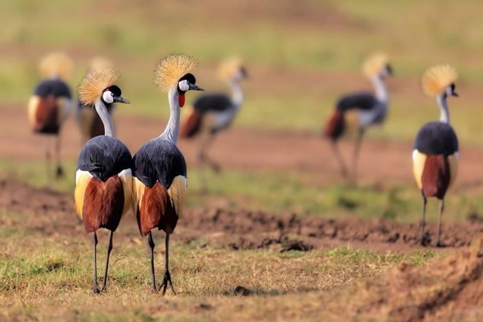 Grey-crowned-Crane,-Kenya-shutterstock_241929190.jpg