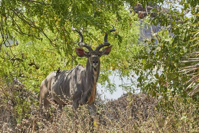 Greater Kudu (Andrew Griffin)
