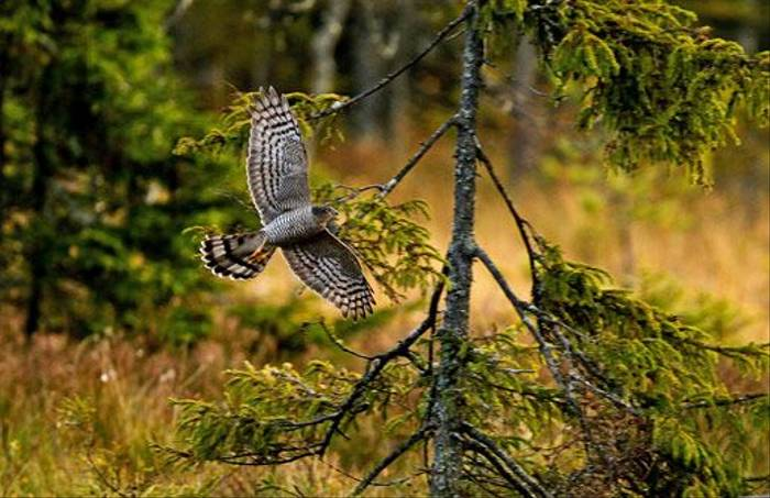 Sparrowhawk (Hakan Vargas)
