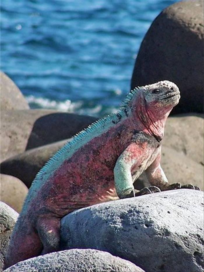 Marine Iguana (Jane Hodgson)