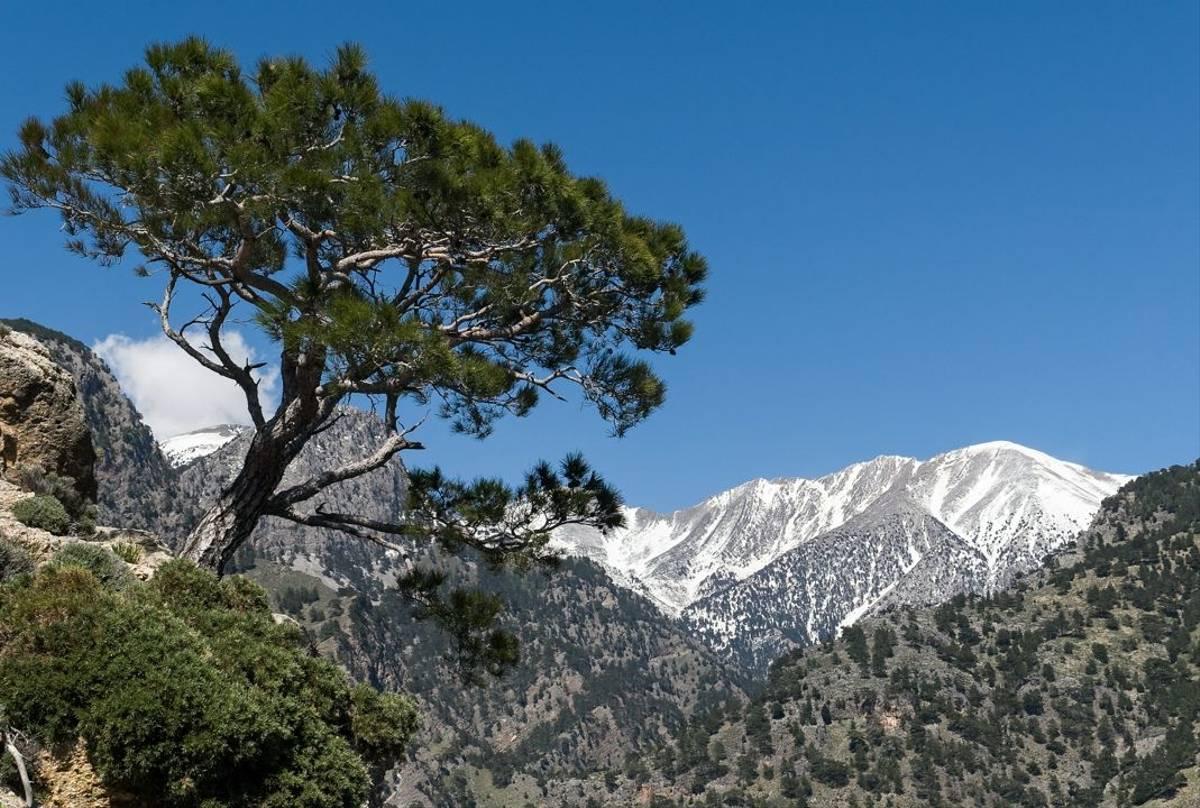 Turkish Pine, White Mountains, Crete Shutterstock 1099272311