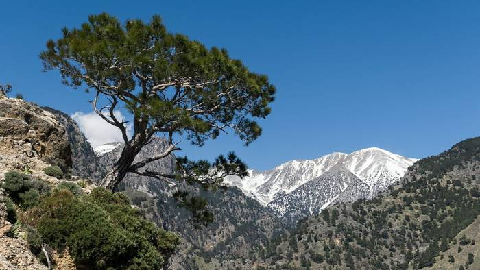 Turkish Pine, White Mountains, Crete Shutterstock 1099272311
