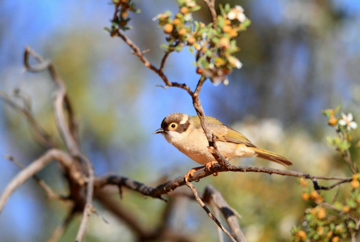 Brown Headed Honeyeater Shutterstock 168299135