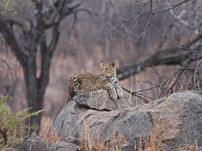 Leopard (Phil Baker)