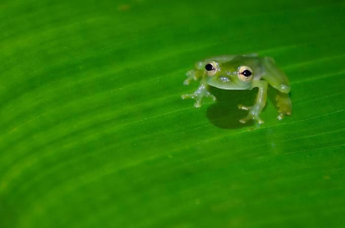Emerald Glass Frog. Tim Melling.