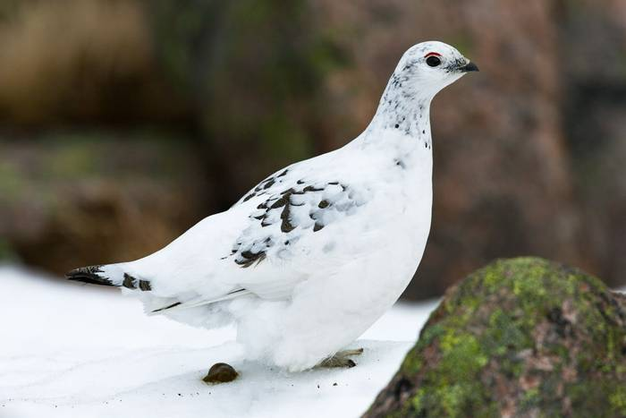 Rock ptarmigan Lagopus muta, adult female, in transitional plumage, Derry Cairngorm, Scotland, UK, March