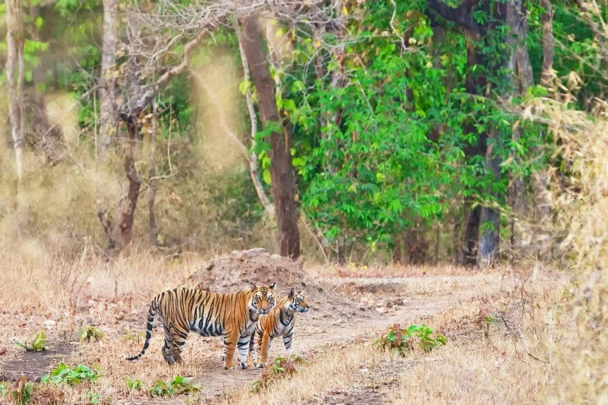 Bengal Tigers In Bandhavgarh National Park, India. Shutterstock 248721178