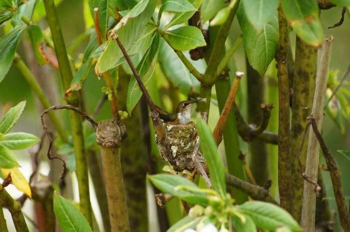 Scintillant Hummingbird (Brian West)