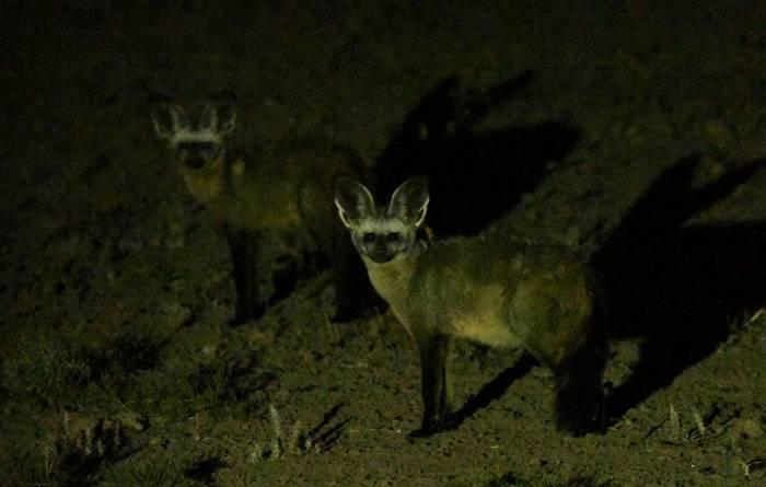 Bat-eared Fox.jpeg