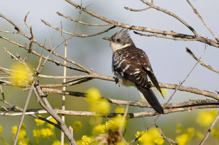 Great Spotted Cuckoo Shutterstock 1067276762