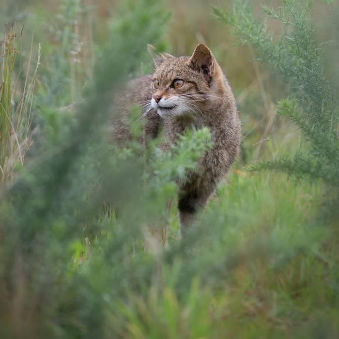 Wildcat, Scotland shutterstock_1167424723.jpg