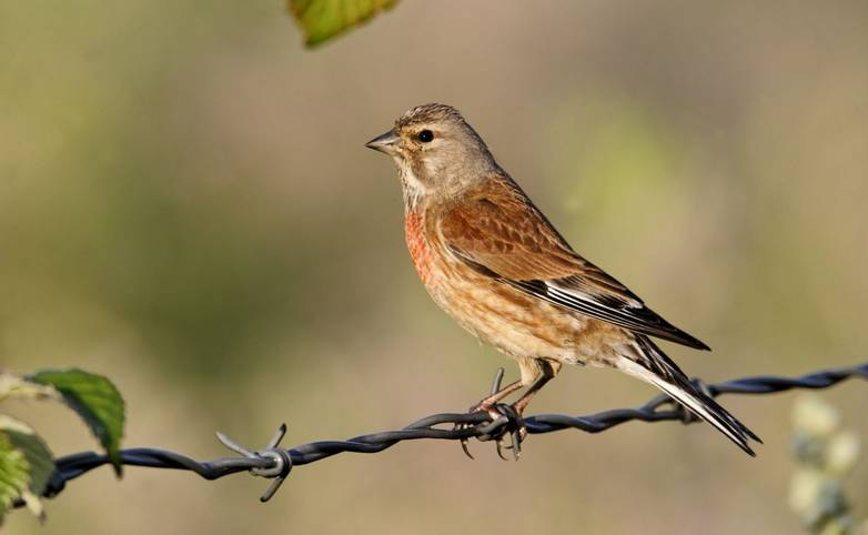 Linnet, Carduelis cannabina, single male on wire fence, Midlands, June 2011