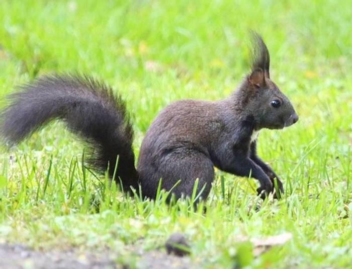Red Squirrel (Mark Elliot)