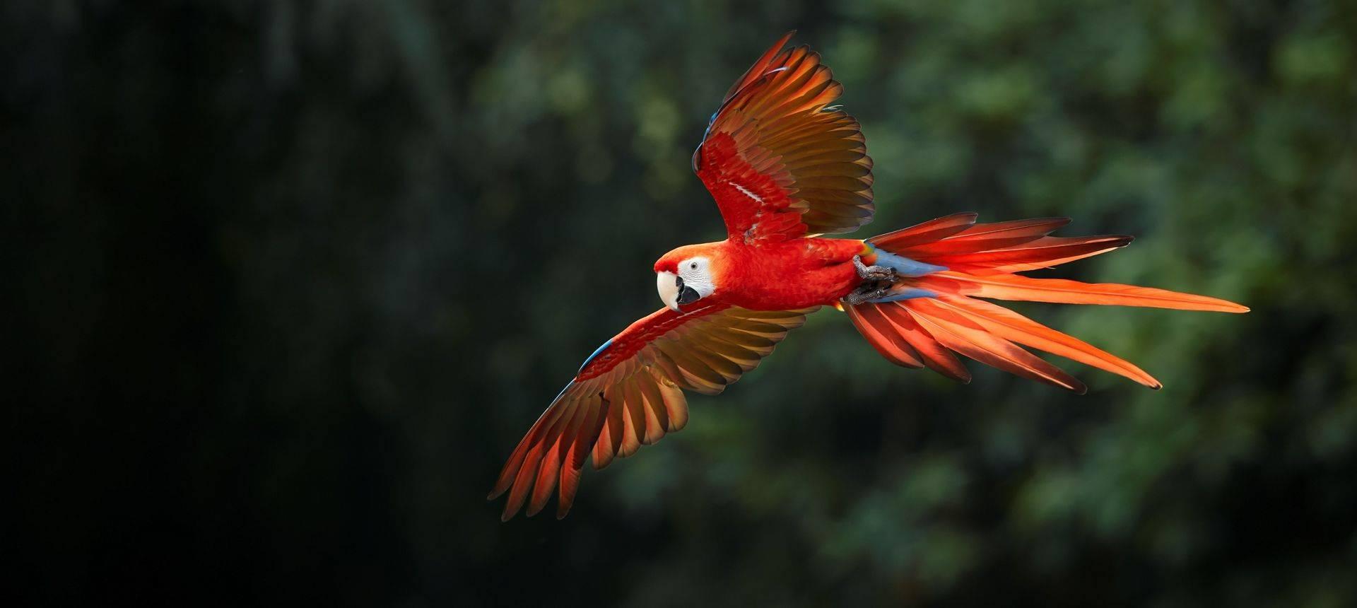 Scarlet Macaw Shutterstock 481822411