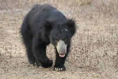 Sloth Bear by Ian Williamson
