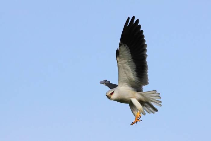 Black-winged Kite, Spain shutterstock_51947188.jpg