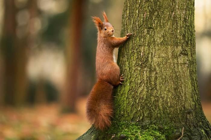 Red-Squirrel-shutterstock_350367491.jpg