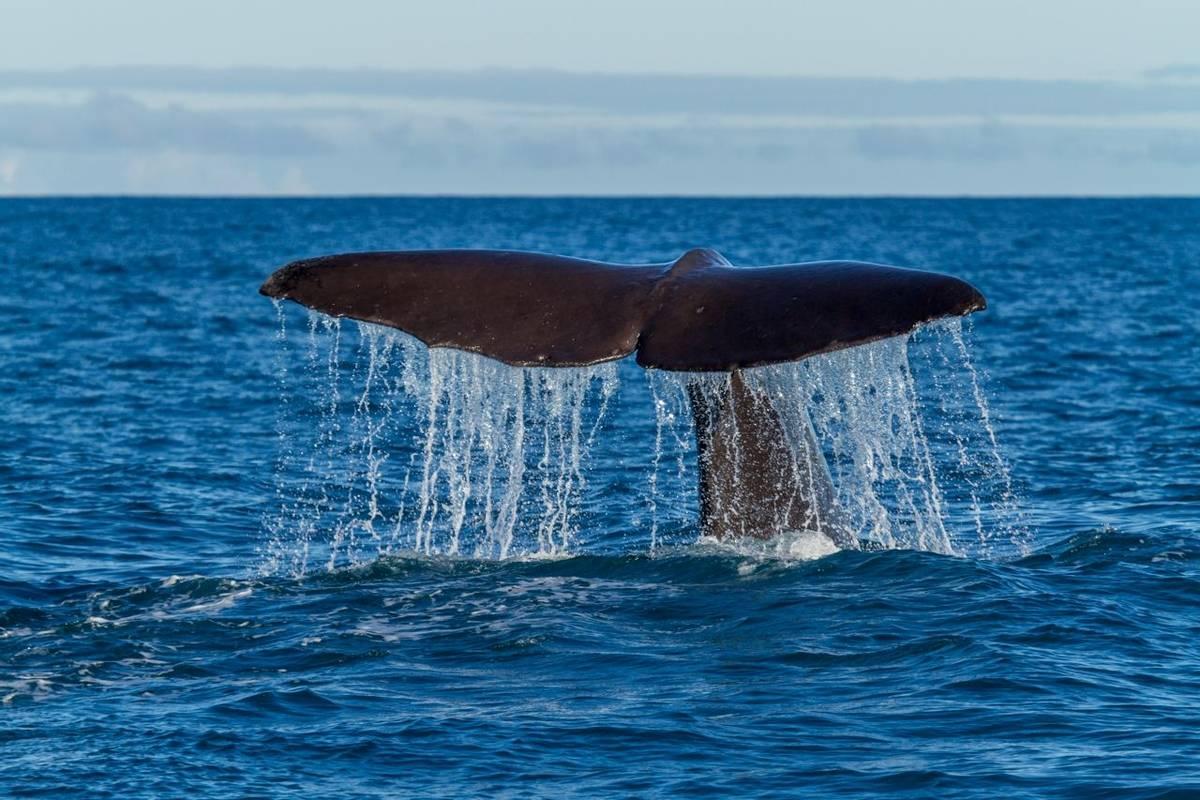 Sperm Whale fluke
