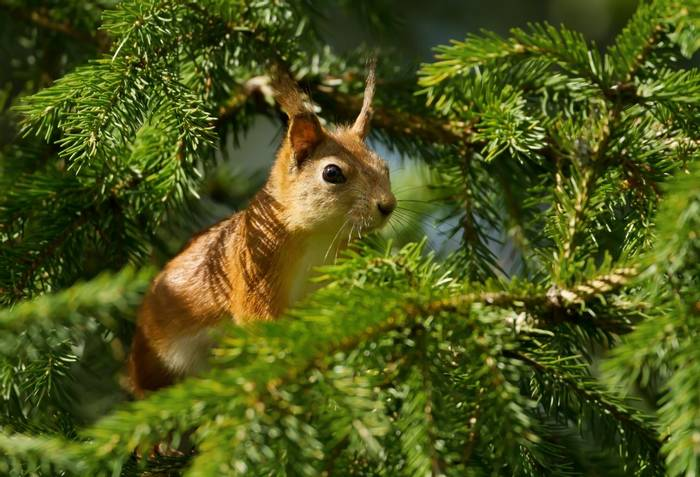 Red Squirrel shutterstock_1200043279.jpg