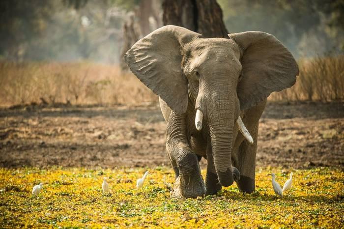 African Elephant Mana Pools National Park Zimbabwe Shutterstock 1008372271