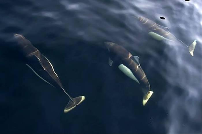 Dall's Porpoise (Paul Stanbury)