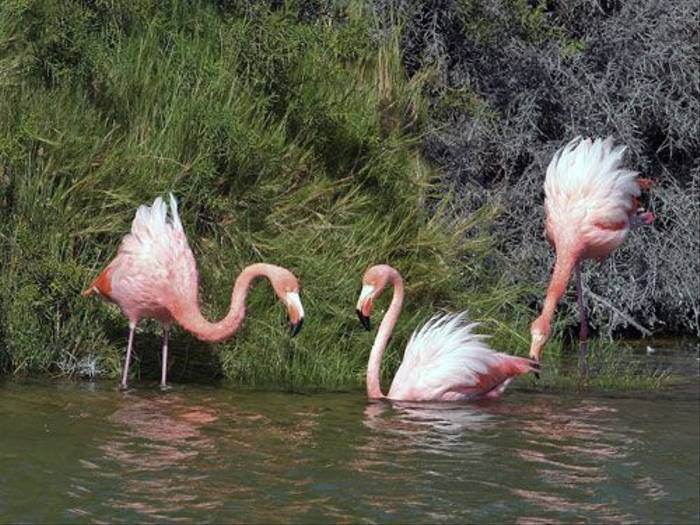 Greater Flamingo (John Willsher)