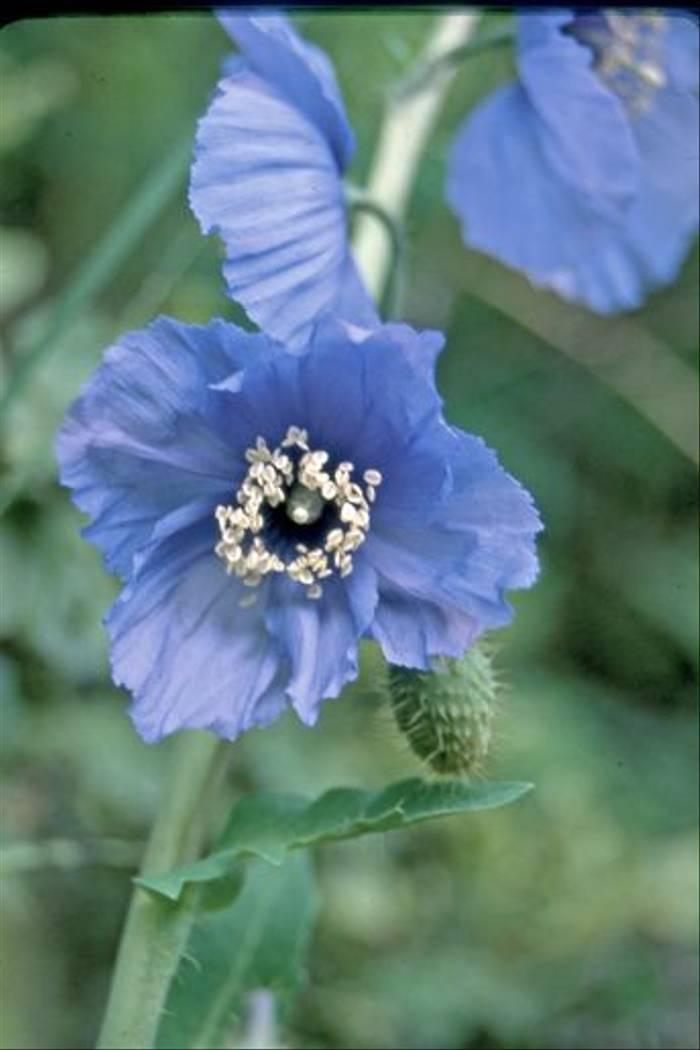 Meconopsis Horridula (John Shipton)